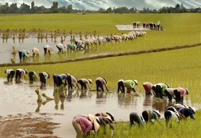 Bà con nông dân đang cấy lúa Nàng Thơm Chợ Đào