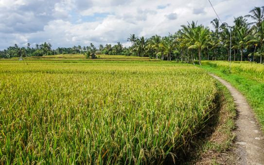 Có bao nhiêu mùa lúa gạo trong năm