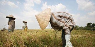 thị trường lúa gạo 2020
