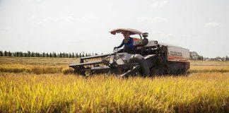 Từ cây lúa thành gạo đóng túi