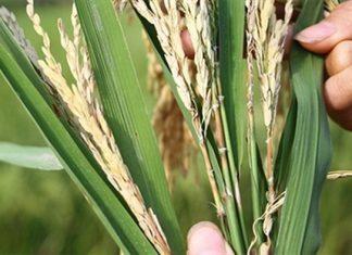 Các loại sâu bệnh gây hại cho cây lúa