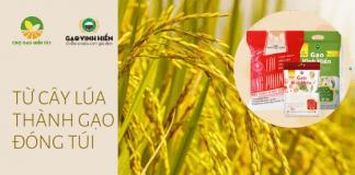 Cây lúa thành gạo đóng túi