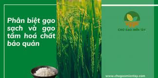 Phân biệt gạo sạch và gạo tẩm hoá chất bảo quản